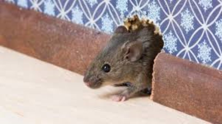 وصفات وطرق تخلصك من الفئران والصراصير للأبد